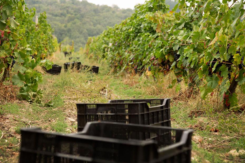 El viñedo en la D.O. Ribeira Sacra presenta un muy buen estado sanitario en la recta final de la vendimia