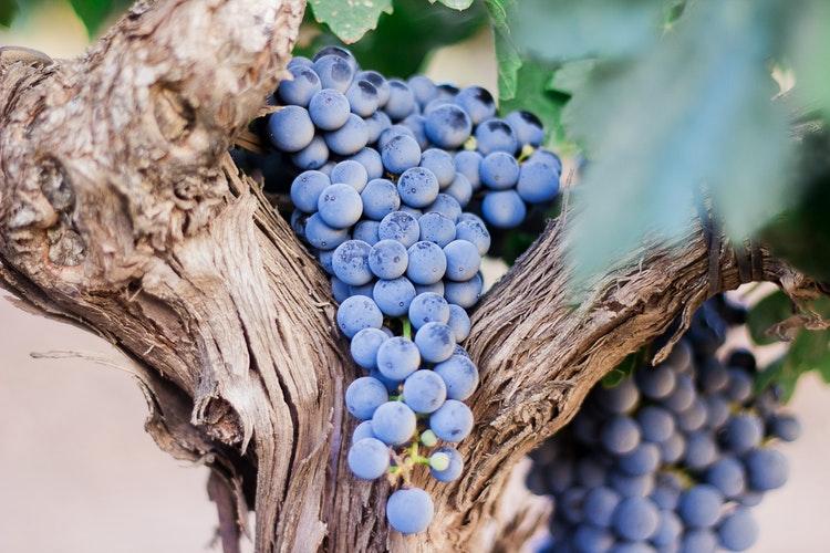 (Español) ¿Cómo afecta la sequía al viñedo?